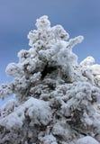 Neve del pino dell'albero Immagine Stock Libera da Diritti