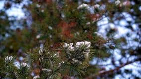 Neve del primo piano del ramo del pino stock footage