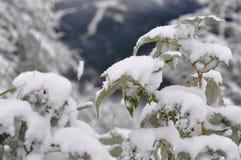 Neve della pianta Fotografia Stock Libera da Diritti
