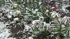 Neve della primavera a maggio che cade sui fiori sboccianti archivi video