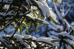 Neve di caduta dai rami di albero dell'abete Immagini Stock Libere da Diritti