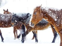 Neve di inverno dei cavalli Immagine Stock