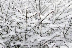 Neve di inverno sulla pianta Immagine Stock