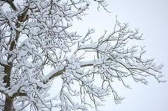 Neve do branco dos ramos dos pretos Fotos de Stock Royalty Free