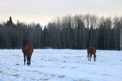 A neve do inverno ajardina cavalos Imagens de Stock Royalty Free