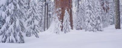 Neve do inverno na floresta gigante, fotografia de stock royalty free