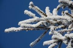 Neve do ramo do abeto Imagens de Stock Royalty Free