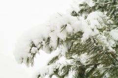 Neve do ramo do cedro Imagem de Stock Royalty Free
