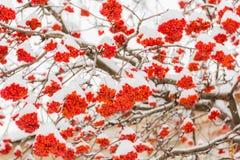 Neve e geada nos ramos de árvore Grupos maduros de Rowan Dia de inverno foto de stock royalty free