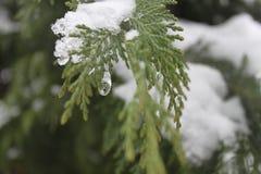 Neve e ramo coperto di ghiaccio del pino Fotografie Stock