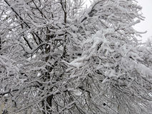Neve ed albero coperto di ghiaccio e rami Immagine Stock