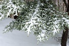 Neve em agulhas Foto de Stock Royalty Free