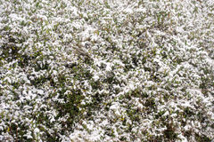 Neve em arbustos Fotos de Stock Royalty Free