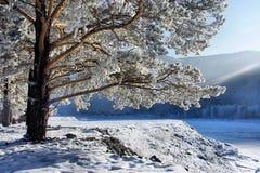 Neve em filiais de uma árvore do inverno. Imagens de Stock Royalty Free