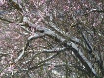 Neve em ramos de árvore da cereja na flor Foto de Stock