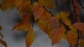 A neve encontra-se em coloridas, folhas de outono vídeos de arquivo