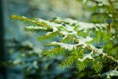 A neve encontra-se em um ramo do abeto em um dia ensolarado Foto de Stock