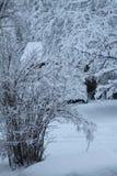 Neve fresca em Bush Fotografia de Stock Royalty Free