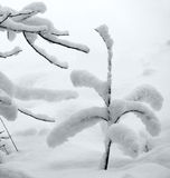 Neve fresca na árvore pequena Fotografia de Stock