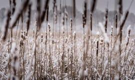 Neve fresca sui Cattails Fotografie Stock Libere da Diritti