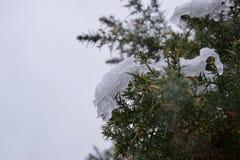 Neve gelada em um arbusto do tojo fotografia de stock royalty free