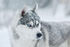Neve grigia e bianca del cane del husky siberiano sul ritratto domandantesi capo nel prato della neve Immagini Stock