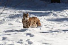 Neve I del lince Fotografia Stock Libera da Diritti
