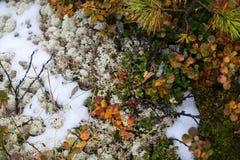 Neve, muschio ed uve di monte Estate nelle montagne di Altai, Russia Immagini Stock
