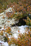 Neve, muschio ed uve di monte Estate nelle montagne di Altai, Russia Fotografia Stock