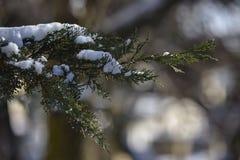 Neve na árvore de pinho Imagens de Stock