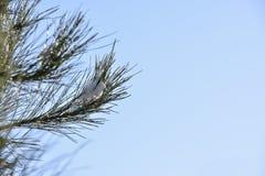Neve na árvore de pinho fotografia de stock royalty free