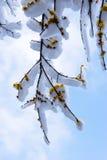 A neve na flor de Wintersweet Fotografia de Stock