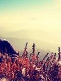 Neve na florescência vermelha do arbusto da urze no penhasco no parque Campo montanhoso com o vale longo completo da névoa do out imagem de stock