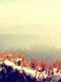Neve na florescência vermelha do arbusto da urze no penhasco no parque Campo montanhoso com o vale longo completo da névoa do out fotos de stock royalty free