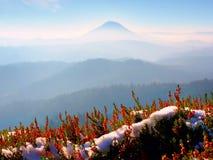 Neve na florescência vermelha do arbusto da urze no penhasco no parque Campo montanhoso com o vale longo completo da névoa do out fotos de stock