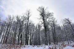 Neve na floresta Imagem de Stock Royalty Free