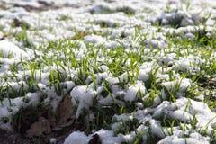 Neve na grama verde na natureza Foto de Stock Royalty Free