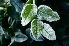 Neve na planta Imagem de Stock