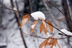 Neve nas folhas da árvore de faia Imagens de Stock