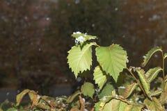 Neve nas folhas verdes Imagens de Stock