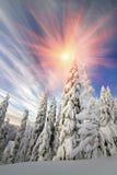 Neve nella bella foresta selvaggia dell'abete Immagine Stock