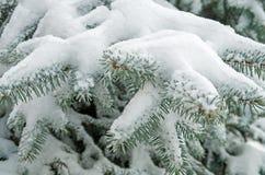 Neve no abeto vermelho Imagens de Stock Royalty Free