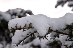Neve no pinheiro, árvore de Natal nevado Imagem de Stock