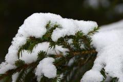 Neve no ramos verdes de uma árvore de Natal imagem de stock