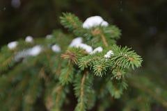 Neve no ramos verdes de uma árvore de Natal imagens de stock royalty free