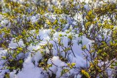 Neve nos botões verdes da mola Fotos de Stock Royalty Free