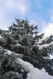 Neve protegida abeto vermelho Fotografia de Stock Royalty Free