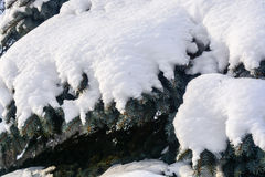Neve protegida abeto vermelho Imagens de Stock Royalty Free