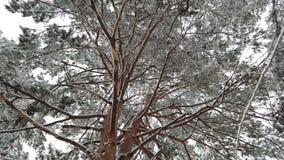 Neve que cai com a árvore da geada na estação do inverno, opinião de baixo ângulo filme