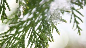 Neve que derrete nos botões em ramos de árvores do inverno O close up da água deixa cair da neve de derretimento sobre o fundo bo filme